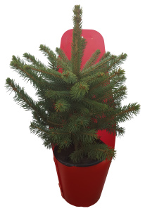 Blue_spruce_red_pot